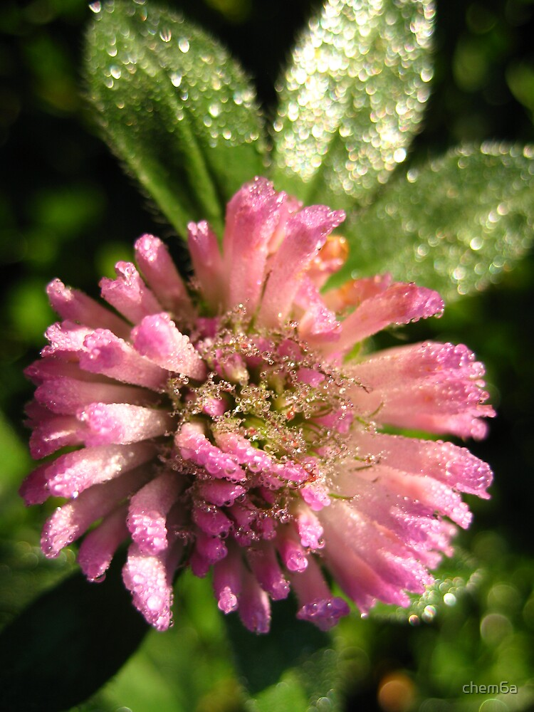 Dew on clover by chem6a