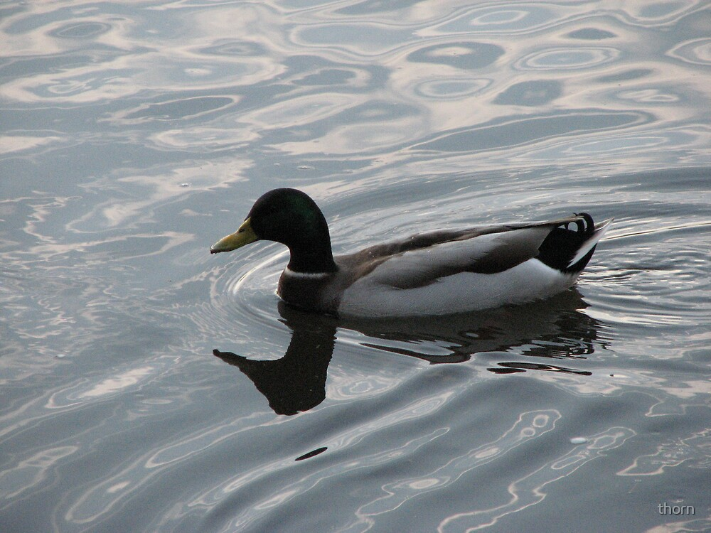 Another Duck by thorn