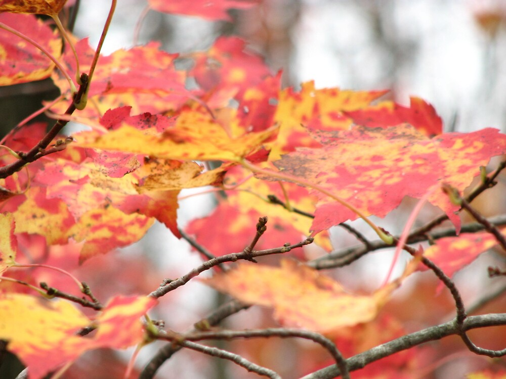 Red and Yellow Leaves by IndyLady