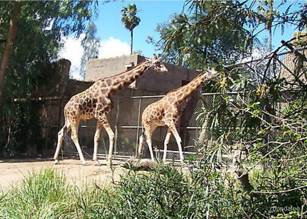Melbourne Zoo - Giraffes  by rhondalee