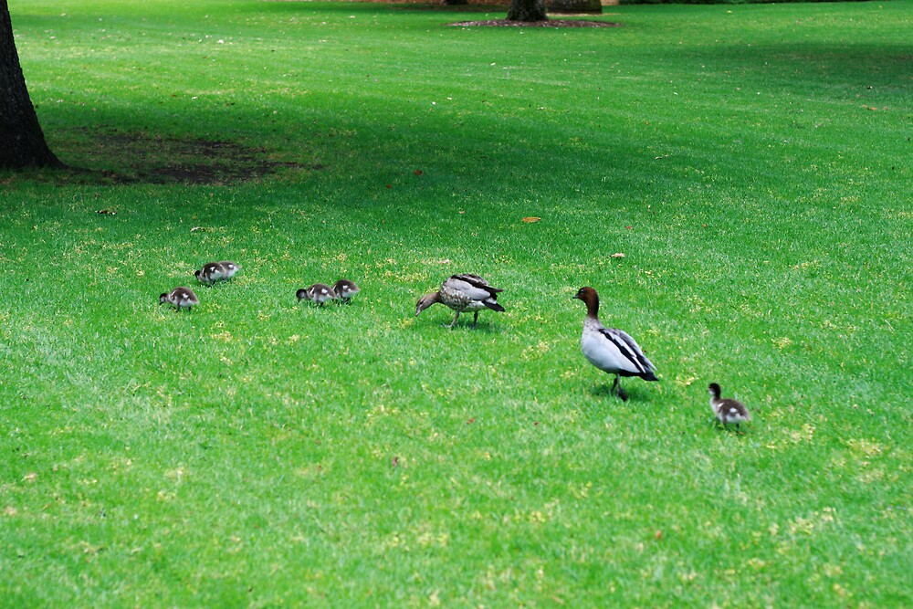family of ducks by sweetchilliphilly