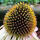 Cone Flower~ by virginian