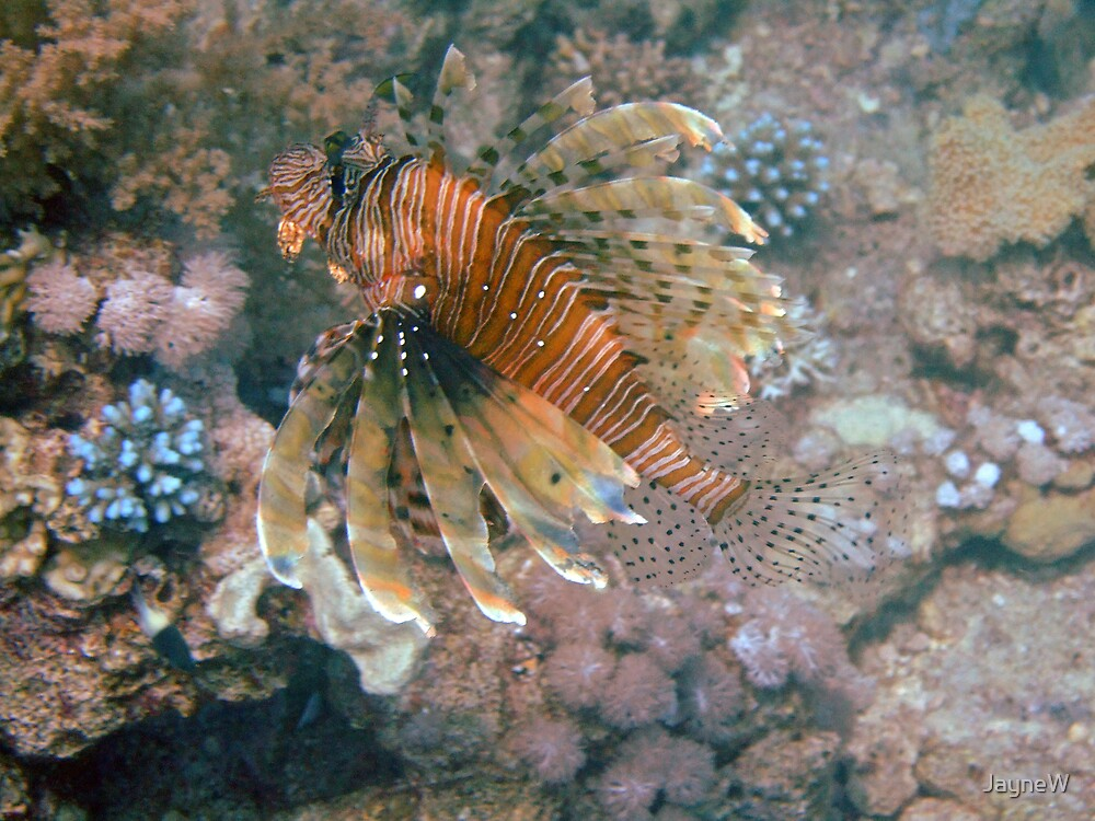 lion fish by JayneW