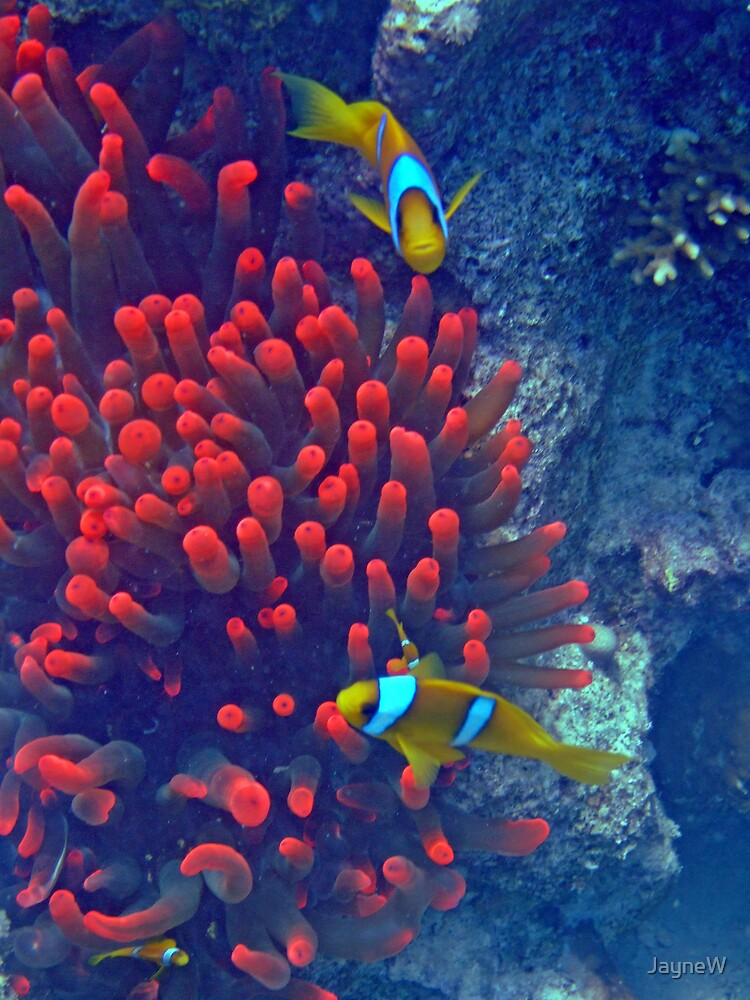 Red Anemones   by JayneW