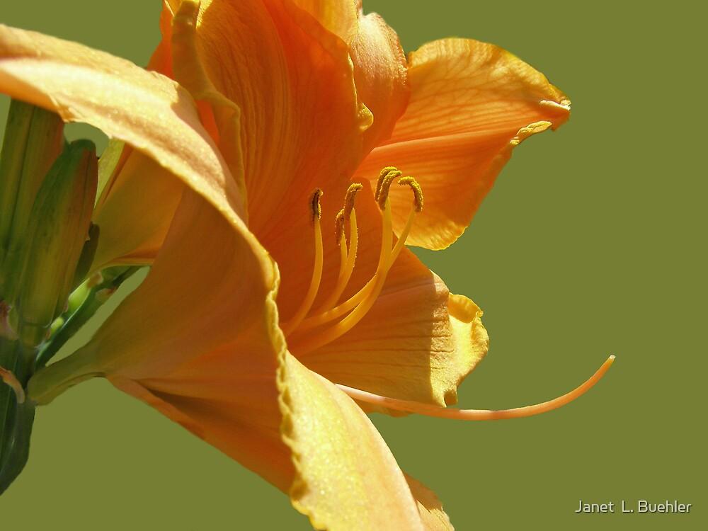 PRETTY ORANGE LILY by Janet  L. Buehler