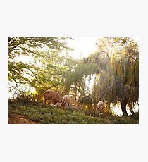 Goats at the sunset meadow among trees Photographic Print