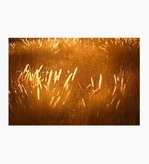 Natural golden background with golden grass Photographic Print