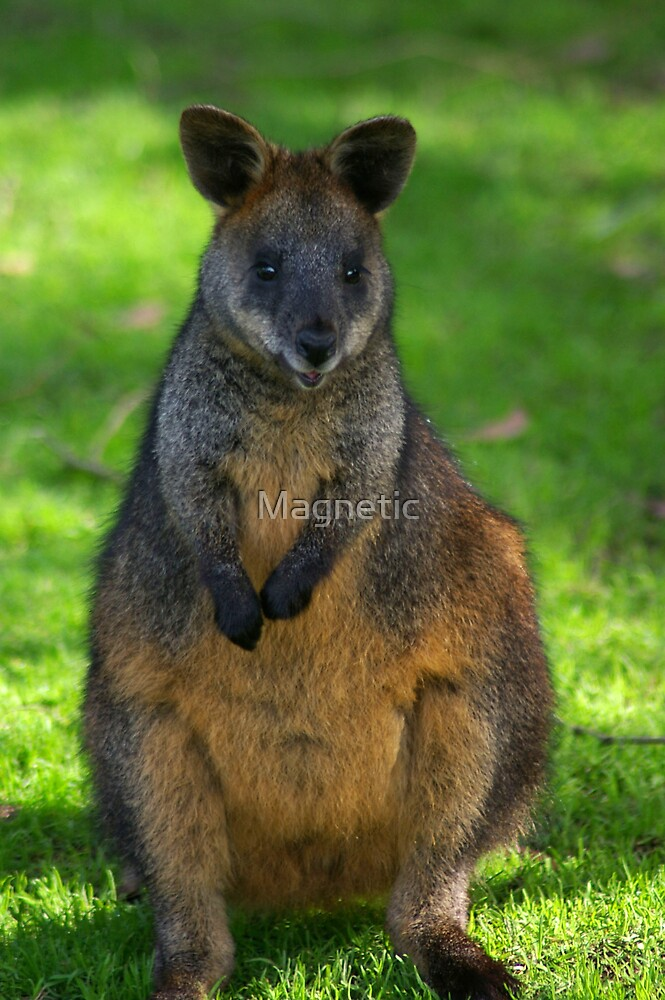 Wallaby by Magnetic