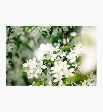 Springtime, young cherry blossoming Photographic Print