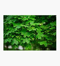 Maple green leaves close up Photographic Print