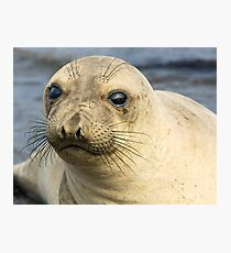 Northern Female Elephant Seal Photographic Print