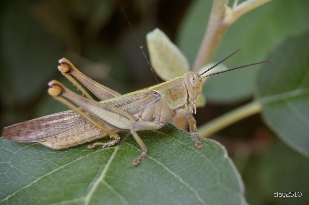 Grasshopper by clay2510