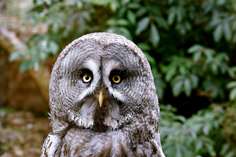 Great Grey Owl by kitlew
