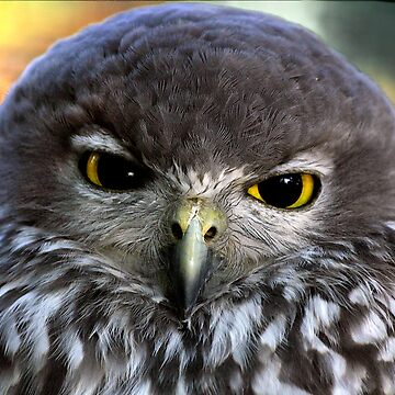 Barking Owl by lance