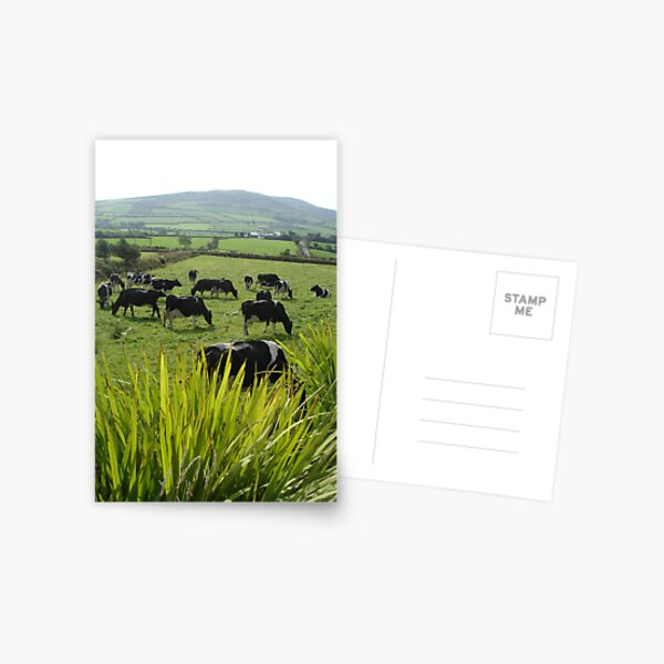 Cows of Kerry Postcard