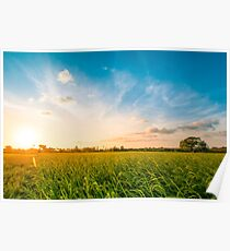 Green rice fild with evening sky Poster