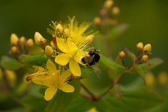 The Bumble Bee by Michael  Newman