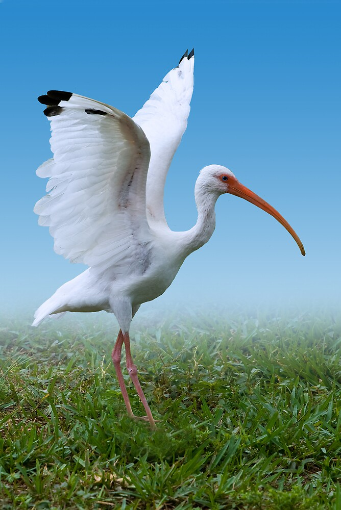 White Ibis Dancing on the Wind by Delores Knowles