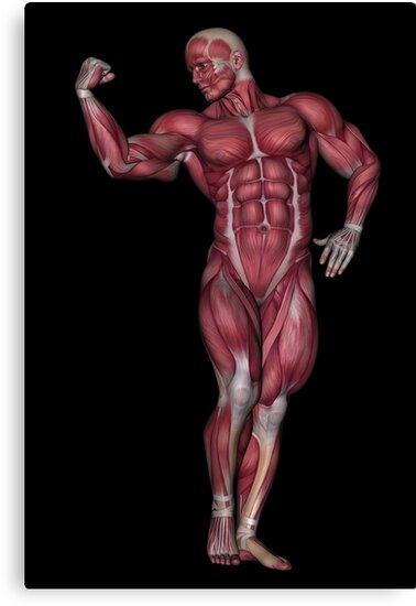 Lienzos «Músculos masculinos de anatomía humana» de Solomon Barroa ...