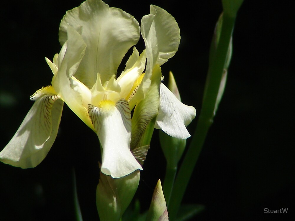 Yellow Iris by StuartW