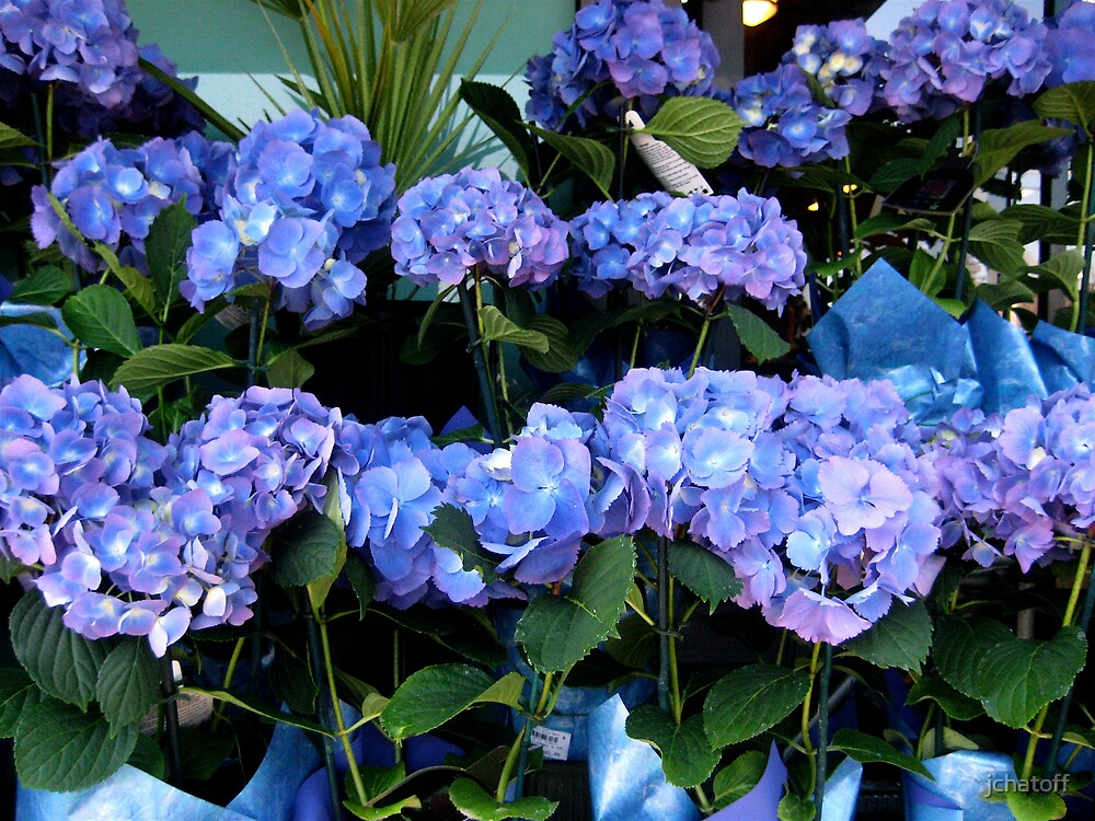 blue hydrangeas by jchatoff