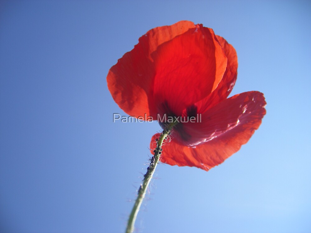 Poppy in the Sky by Pamela Maxwell