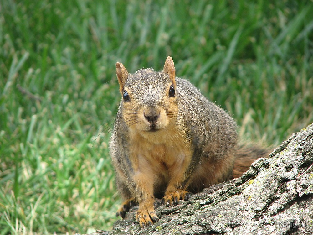 Curiousity, thy name is Squirrel.  by KBdigital