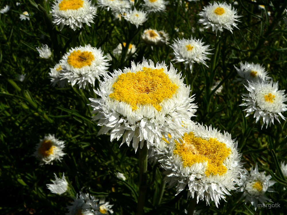 Poached-Eggs Daisies by margotk