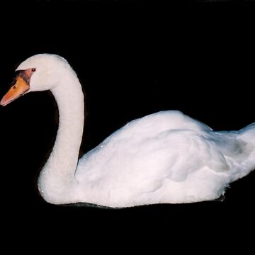 swan at night by as2ae