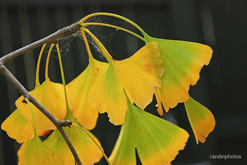 Autumn Ginkgo by randmphotos