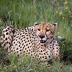 Cheetah. by Lyn Darlington