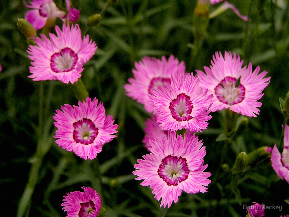 Dianthus in a Northern Garden by Betty Mackey