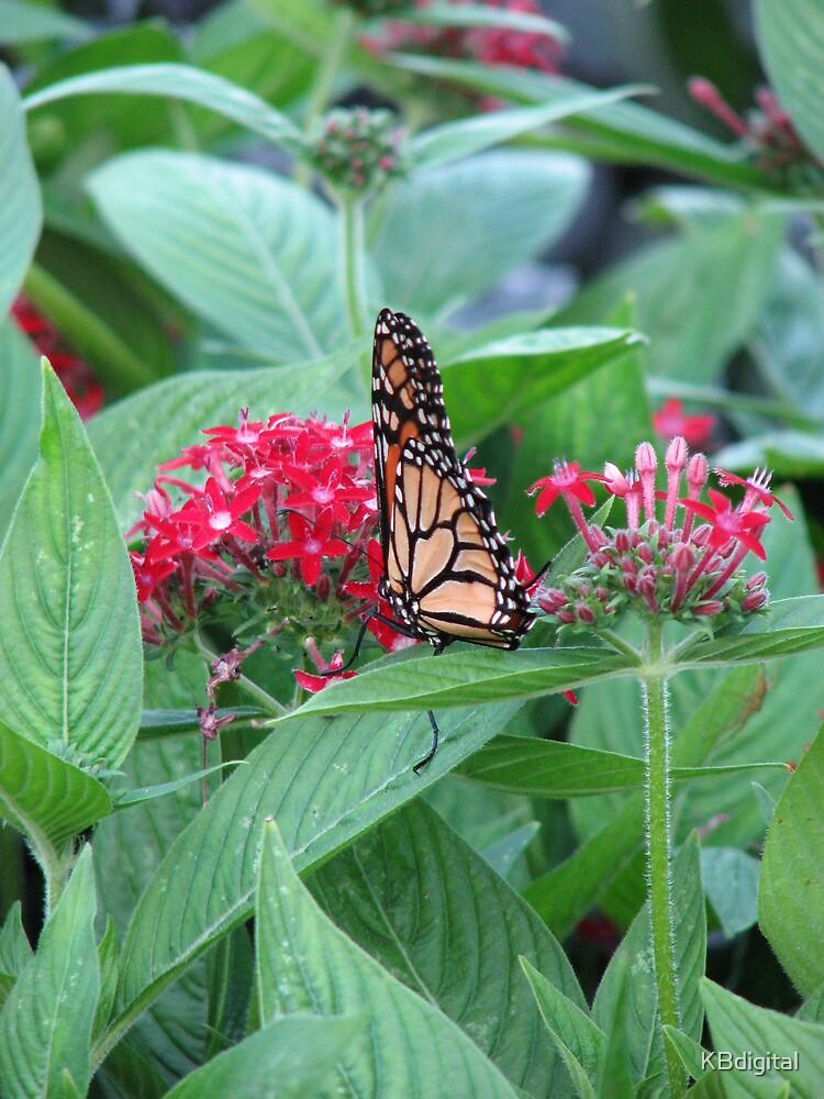 Monarch Butterfly by KBdigital
