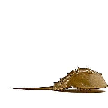 Horseshoe Crab by Alyeska