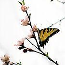 Beautiful Butterfly by Suni Pruett
