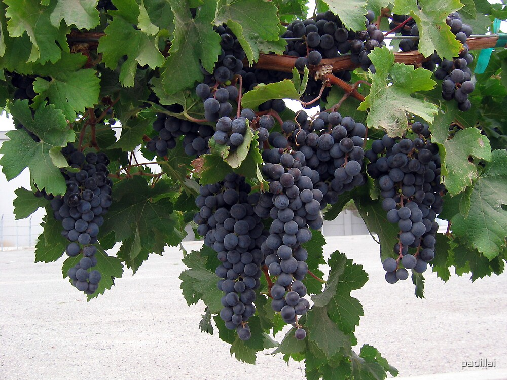 Red Wine Grapes by padillai