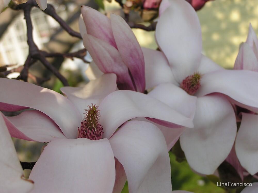 Bruce County Magnolia by LinaFrancisco