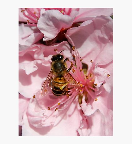 Bee Gathering Peach Pollen Photographic Print
