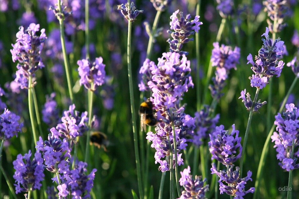 lavender by odile