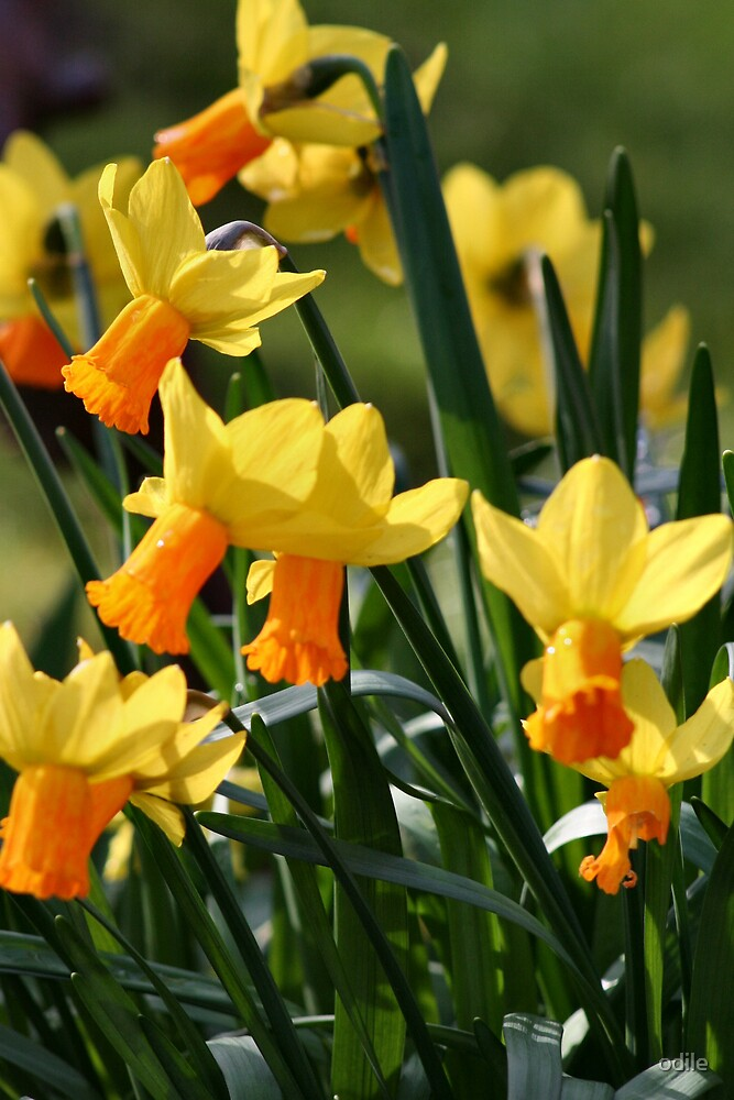 yellow daffodils by odile