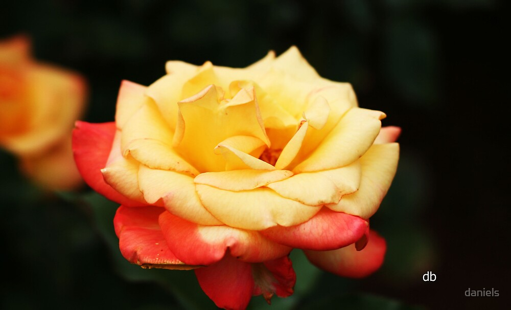 a rose of two colors by daniels