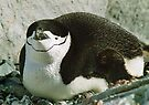 Chinstrap Penguin by Steve Bulford
