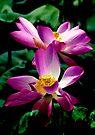 Lotus Pair by Dave Lloyd