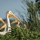 White Pelican 7-2015 by Thomas Young