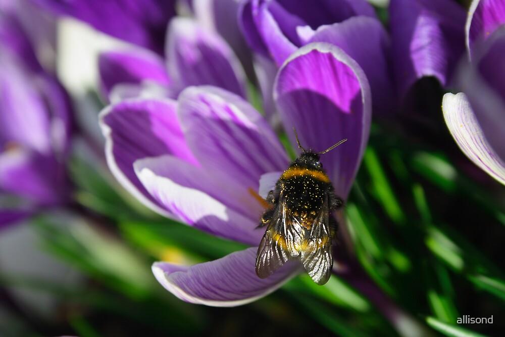 Honey bee on purple crocus by allisond