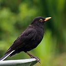 Blackbird on wheelbarrow by allisond