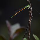 Damsel fly by Peter Krause