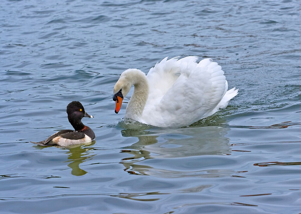 Mute Swan and Ring-necked Duck by Delores Knowles