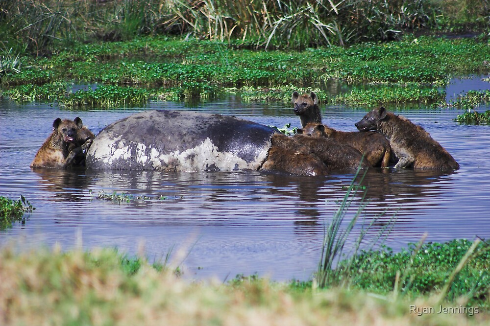Hyenas eating a Hippo by Ryan Jennings
