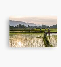 Rice paddies in Khammouane Canvas Print